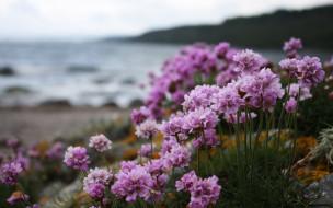 цветы, камни, море, берег, розовые, соцветия
