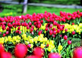тюльпаны, цветы, природа, клумба