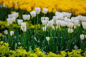 цветы, тюльпаны, природа