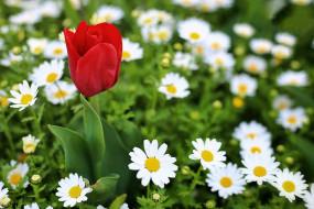 макро, тюльпан, ромашки, цветы