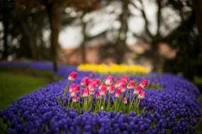 природа, цветы, клумба, тюльпаны