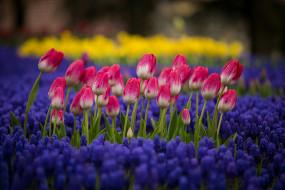 клумба, природа, цветы, тюльпаны