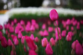 цветы, природа, тюльпаны