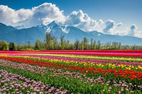 тюльпаны, природа, цветы, поле, пейзаж