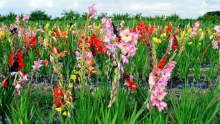 цветы, гладиолусы