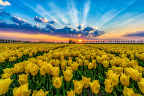 тюльпаны, природа, цветы