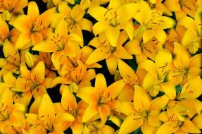 желтый, лилии, лепестки