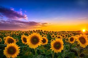 цветы, подсолнухи, пейзаж, закат, поле