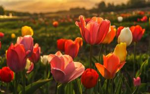 природа, красные, весна, тюльпаны, бутоны, поляна, фон, желтые, тюльпановое поле, цветы, поле, боке