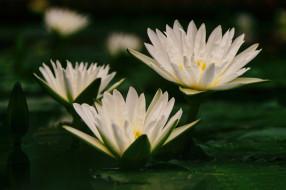 вода, лилии, белые, листья