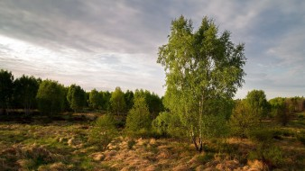 природа, деревья, лес, берёзки