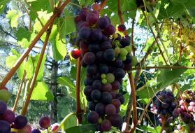 природа, Ягоды,  виноград, виноград, гроздь, ягоды