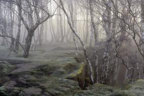 природа, лес, берёзы, туман