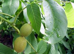 природа, плоды, дождь, орех