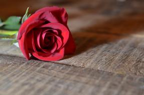цветы, розы, цветок, бутон, роза