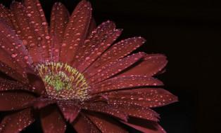 капли, гербера, цветок