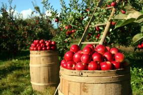 бочки, яблоки, сад, урожай