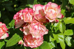цветы, розы, розовый, цветение