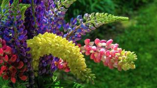 цветы, люпин, разноцветный