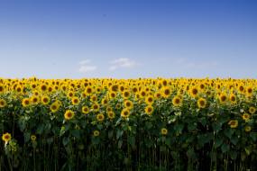 цветы, подсолнухи, поле