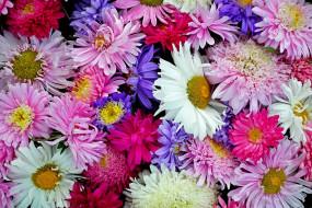 цветение, Астры, цветы, лето