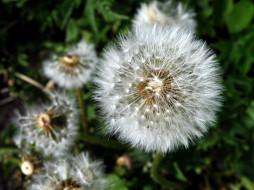 цветы, одуванчики, пушистый