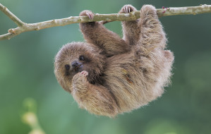 животные, ленивцы, pale-throated, sloth, brdypus, tridactilus, ленивец, природа