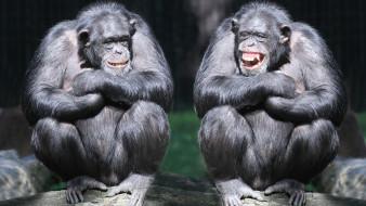 животные, шимпанзе, обезьяны