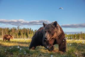 пасутся, лето, лес, хлопчатник, поза, морда, птица, медведи, медведь, лапы, прогулка, мишка, забавный, бурый, косолапый