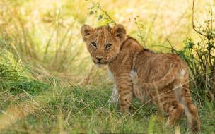 дикая кошка, львенок, поза, малыш, взгляд, природа, львёнок, трава