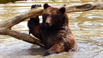 мокрый, вода, медведь, поза, дикая природа, водоем, коряга, мишка, морда, купание, взгляд, бурый