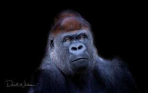 Western Lowland Gorilla, обезьяна, природа, фон