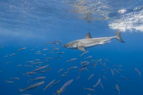 море, акула