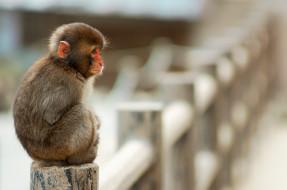 забор, обезьяна, макака