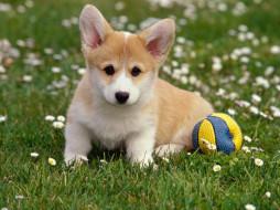 животные, собаки, цветы, мяч, трава, велш-корг, щенок
