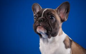 животные, собаки, бульдог, французский