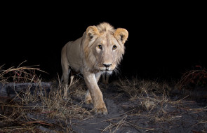 животные, львы, зверь, лев, ночь