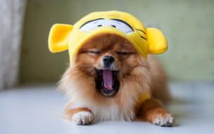 животные, собаки, зевота, шапка, шпиц