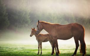 животные, лошади, поляна, туман, жеребенок, лошадь