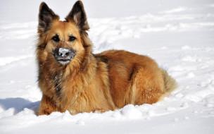 животные, собаки, зима, нос, снег, овчарка