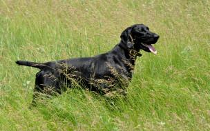 животные, собаки, язык, трава, черный, пес