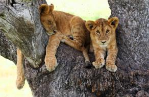 животные, львы, фон, взгляд, дерево, кошки, поза, отдых, львята, дикие, малыши, кора, лежит, спит, лапы, ствол, сон, мошкара, милахи, львёнок, львенок, мордашка, гнус, два, львенка
