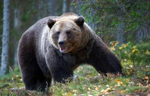 природа, wallhaven, хищник, bears, бурый медведь, animals, хозяин тайги