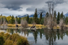 берег, водоем, лес, природа, лоси, лось