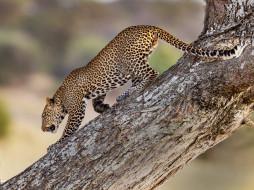 дикая кошка, дерево, леопард, хищник