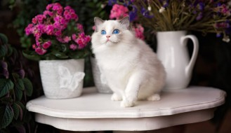 кошка, цветы, голубые глаза