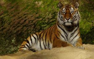 морда, взгляд, зеленый фон, поза, камень, лапы, лежит, дикая кошка, тигр