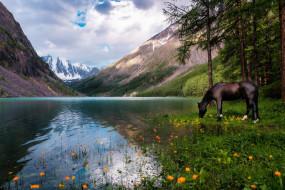 обои для рабочего стола 1920x1280 животные, лошади, озеро, цветы, пейзаж, вороной, отражение, жарки, облака, алтай, водоем, природа, водопой, россия, сосны, горы, лес, небо, конь, лошадь