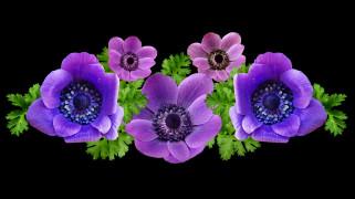 обои для рабочего стола 2560x1439 цветы, анемоны,  сон-трава, лиловый