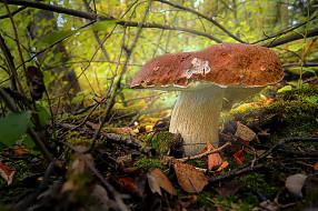 природа, грибы, боровик